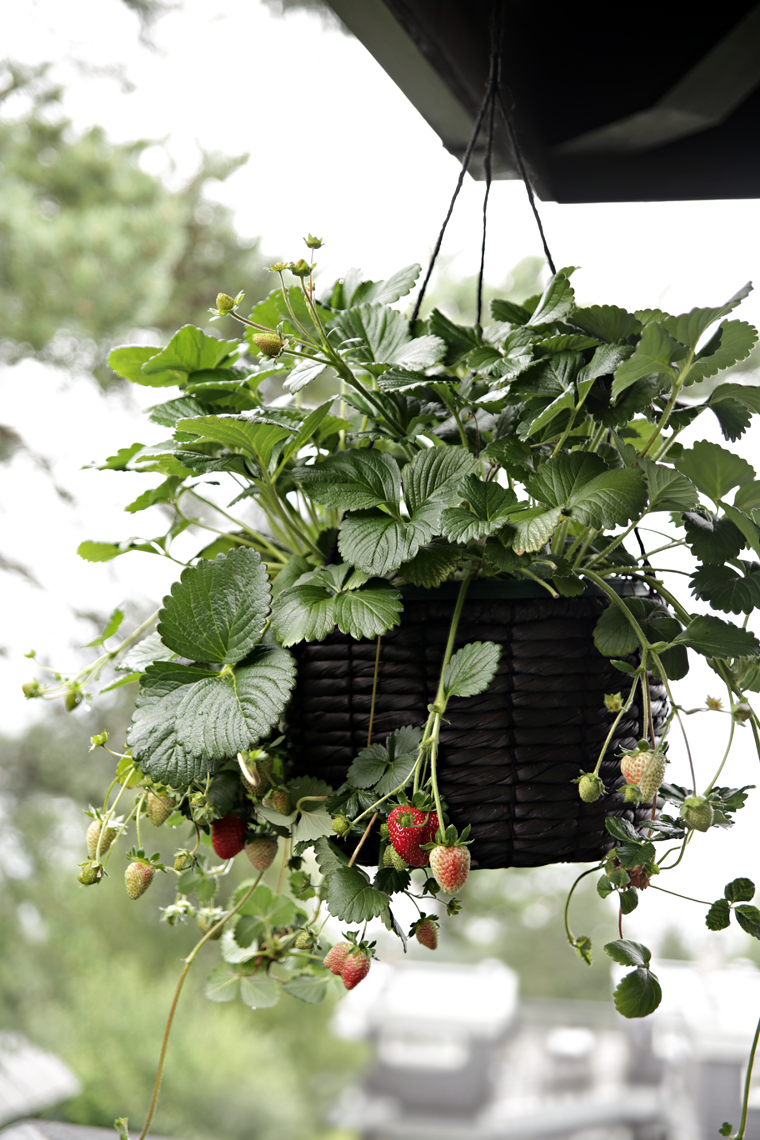 hanging strawberry plant