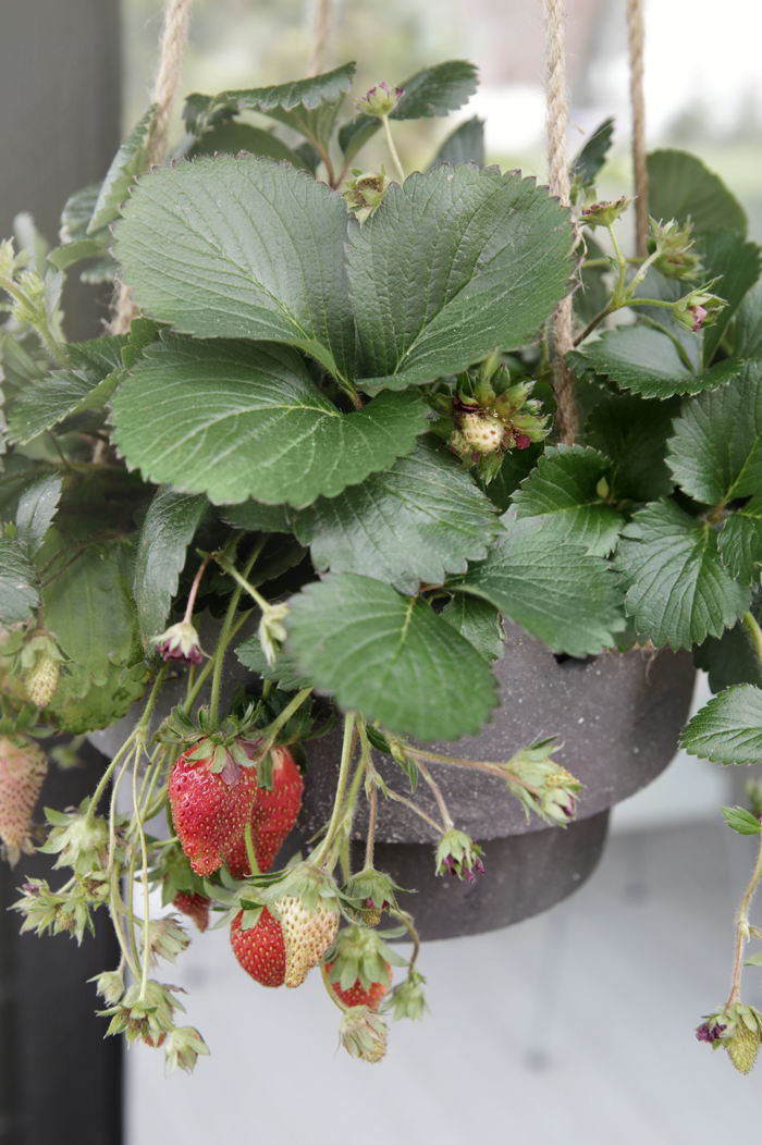 Strawberries in hanging pot